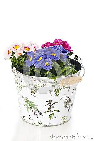 Primrose in flower pot