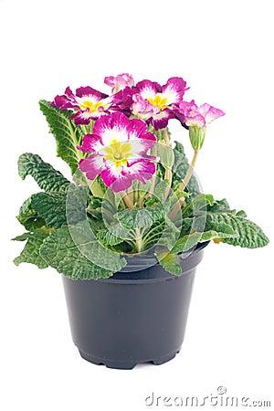 Free Primrose Pot Royalty Free Stock Images - 7820039