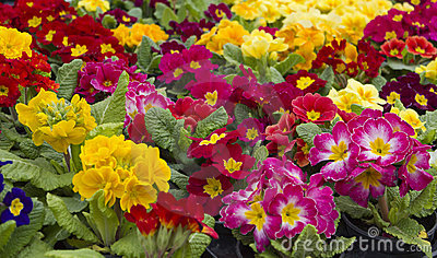 Primroses Stock Photo - Image: 21276100