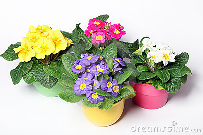 Primroses in colorful pots