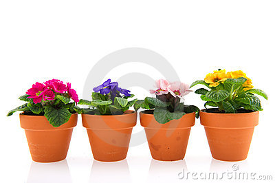 Primroses in earthenware flower pots