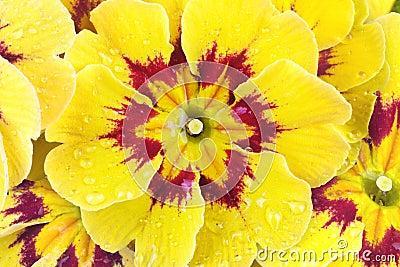 Primroses, spring flower