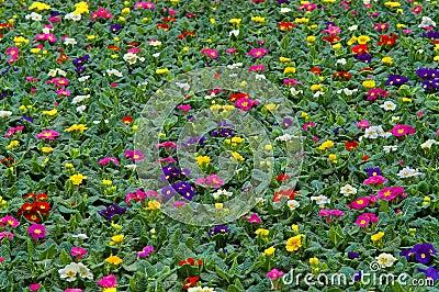 Primula flowerbed