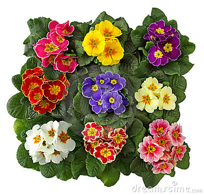 Free Primula Flowers Stock Images - 12825544