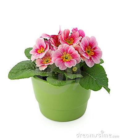 Primula  in green pot