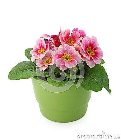 Primula  in green pot