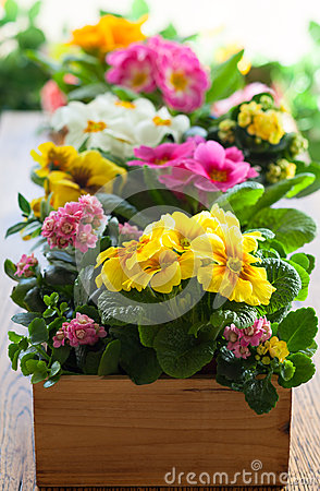 Free Primula In Flower Pot Stock Images - 50470014