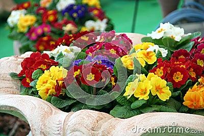 Primula mix colors