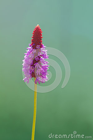 Free Primula Vialii Flower Spike Stock Photography - 26128942