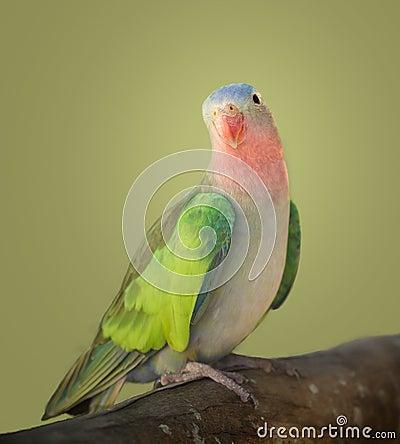 Princess parakeet