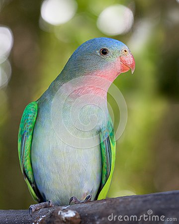 Princess parakeet