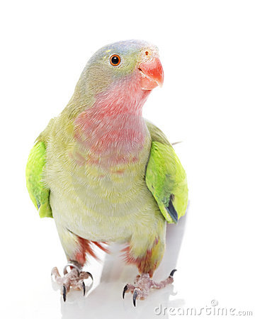 Princess of Wales Parakeet