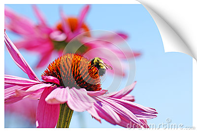 Print illusion of a bumblebee on coneflower