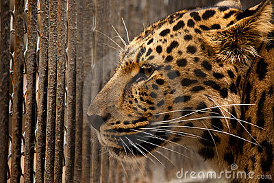 Prison for leopard