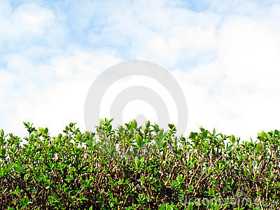 Privet Hedge and sky with clouds