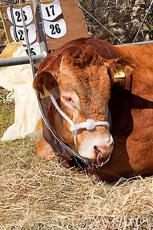Free Prize Winning Bull At Show Close Up Stock Photos - 19736843