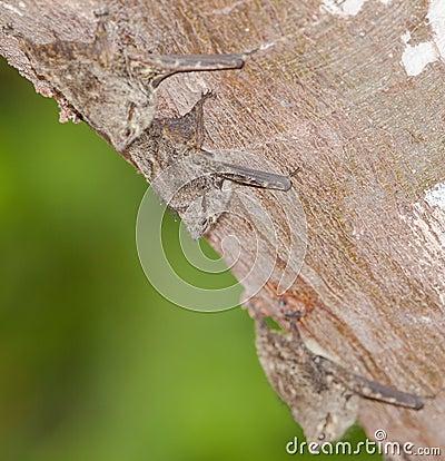 Proboscis Bats on a log