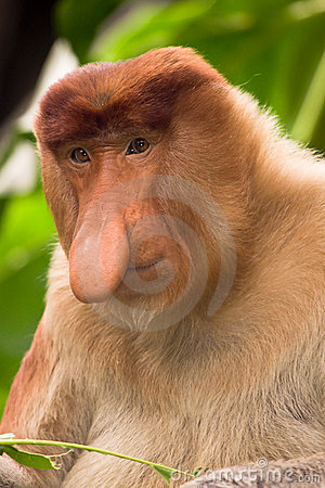 Free Proboscis Monkey Stock Images - 12675784