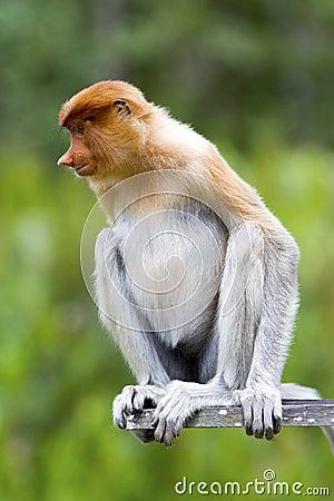 A proboscis monkey.