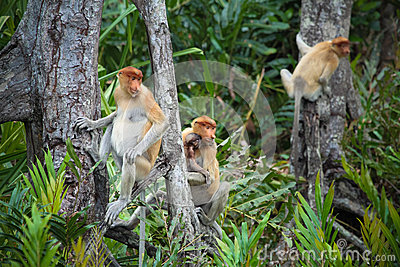 Proboscis monkey family