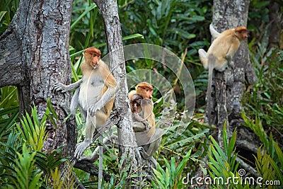 Proboscis monkey family
