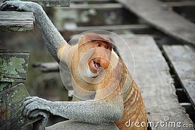 Proboscis monkey laughing