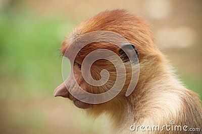 Proboscis monkey profile