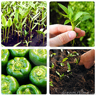 Process of growing vegetables