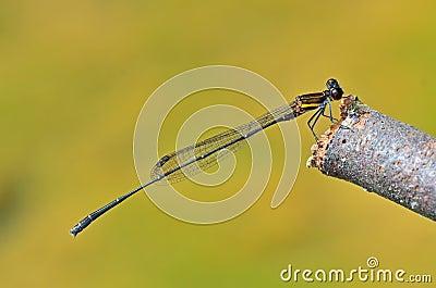 Prodasineura humeralis male Orange-striped Thread