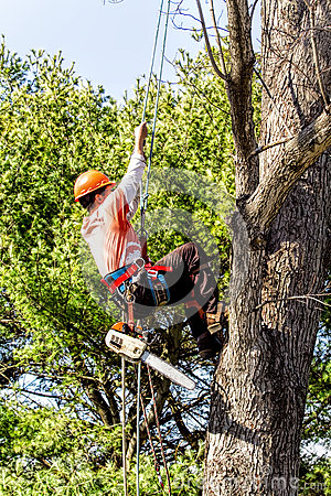 Free Professional Tree Remover Climbing Up Tree Royalty Free Stock Photos - 67710208