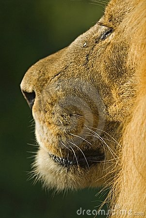 Profiel van een mannelijke Leeuw
