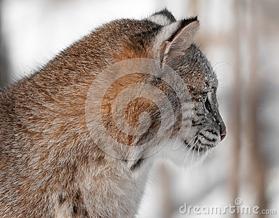 Profil de chat sauvage (rufus de Lynx)