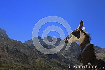 Profil de lama et montagnes de Pyrénées