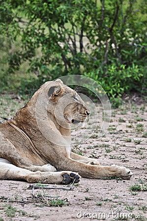 Profil de lion