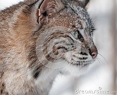 Profil-Nahaufnahme des Rotluchs-(Luchs rufus)