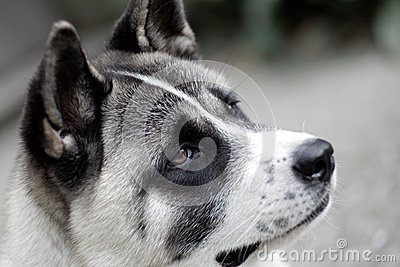 Profile of akita dog