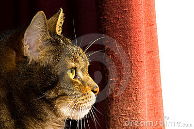 Profile of Brown Tabby Cat