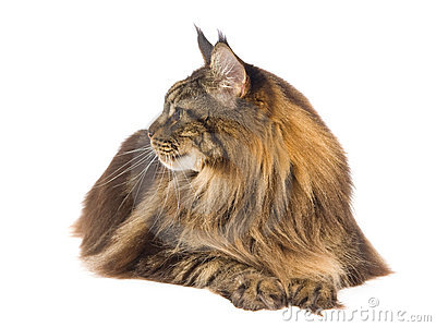 Profile of brown tabby Maine Coon