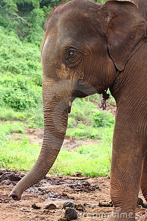 Profile of Elephant head