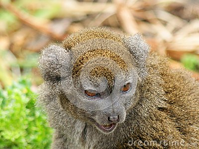 Prortrait of Gentle Lemur