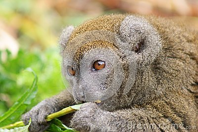 Portrait of Gentle Lemur eating