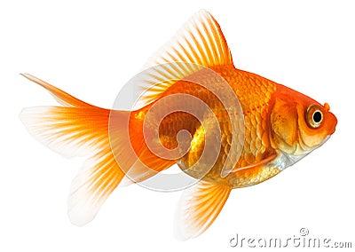 Profile of goldfish