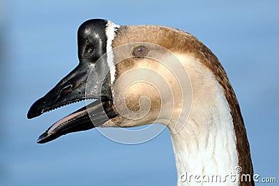 Profile of Goose