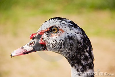 Profile of the head of a Muscovy Duck