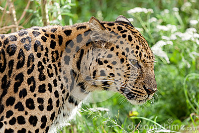 Profile Head Shot of Back Lit Amur Leopard