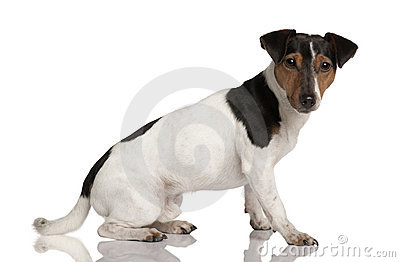 Profile of Jack Russell Terrier, sitting