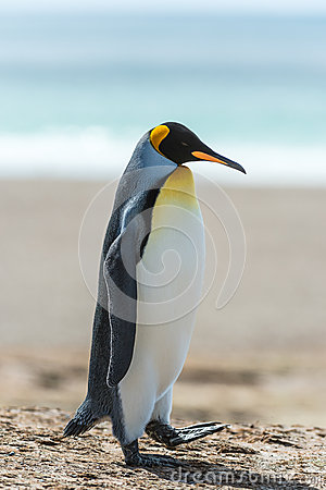 Profile of a KIng penguin.