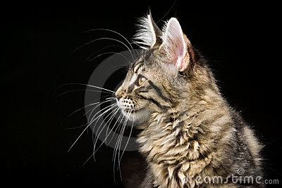 Profile of Maine Coon cat on black background