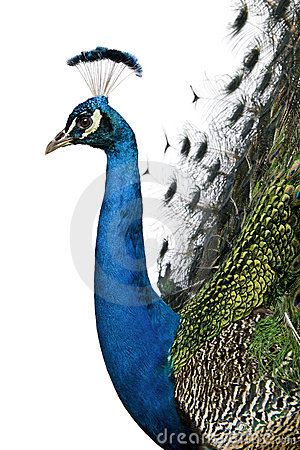 Profile of Male Indian Peafowl