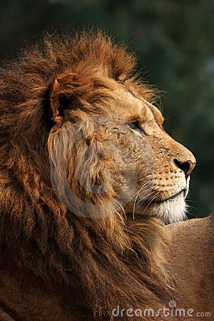 Profile of a male lion
